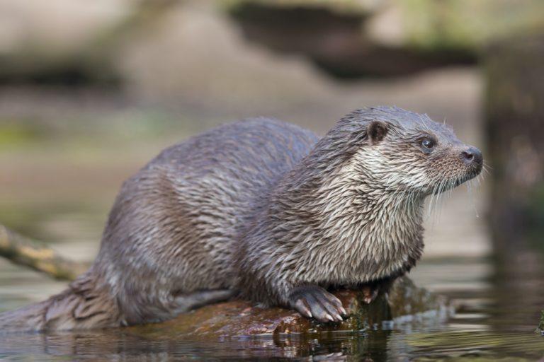 Fischotter / European otter
