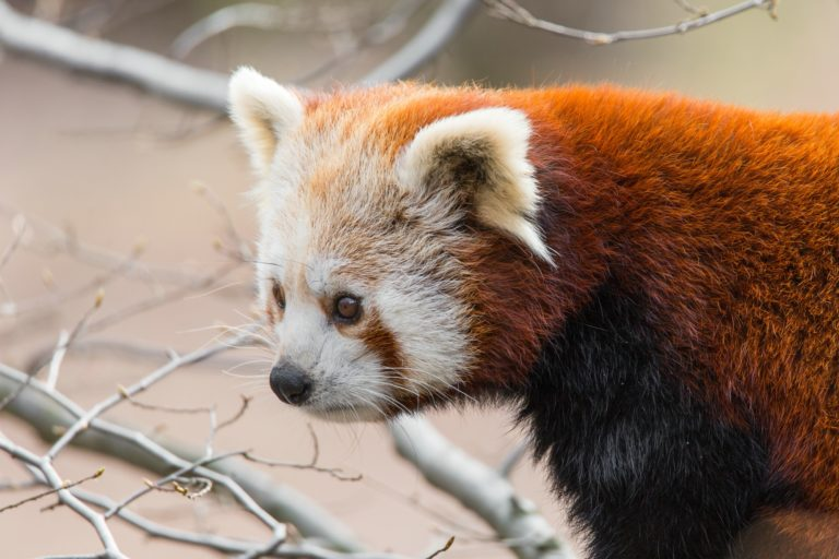 Kleiner Panda / Red Panda