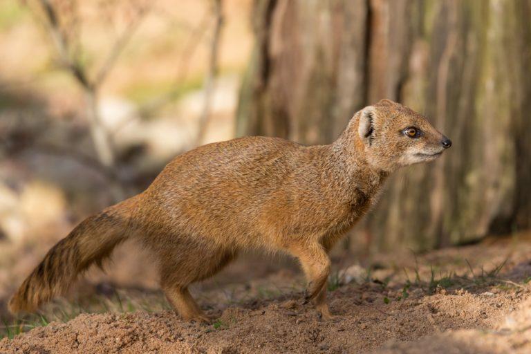 Fuchsmanguste / Yellow mongoose