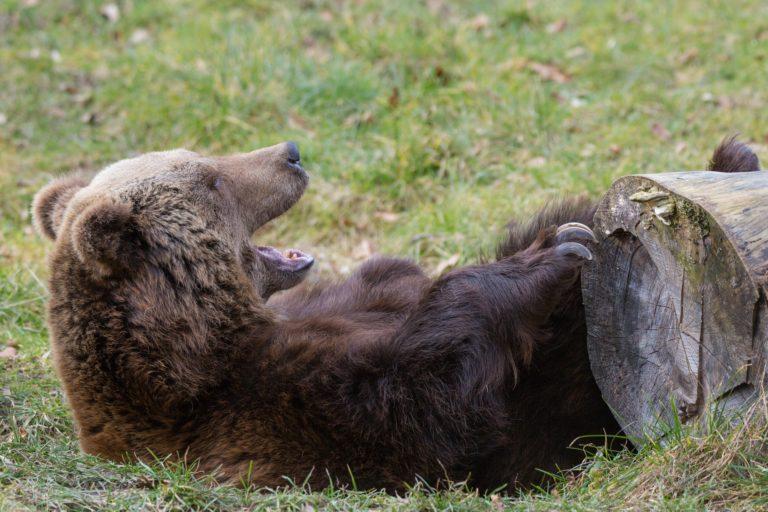 Braunbär / Brown bear