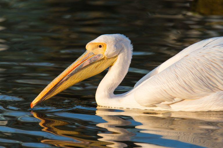 Great White Pelican / Rosapelikan